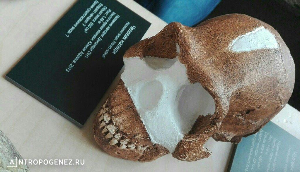 Череп Homo naledi